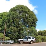 Angophora costata trees