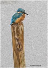 Kingfishers Rye Mead 15.10.2013