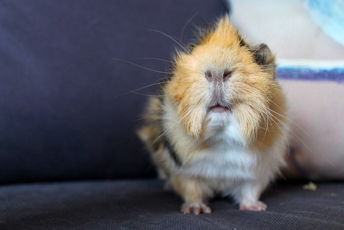 Mohawk the guinea pig. by jessicawattsbunnies