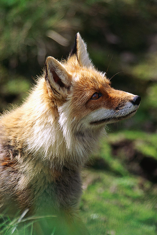 Wildlife in British Columbia, Canada: Red Fox