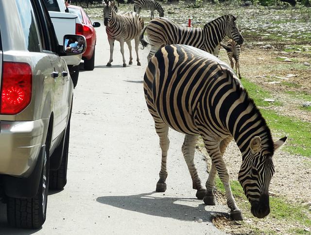zebras-near-cars