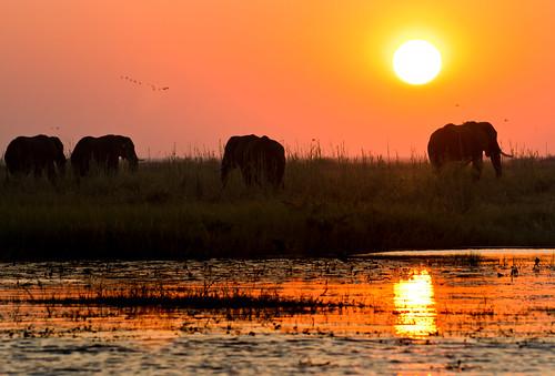 sunset botswana africanelephant chobenp