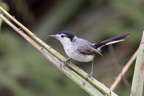 peru birds sucre tropicalgnatcatcher polioptilidae 176gnatcatchers cajamarcaregion