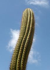 Organ pipe cactus (Stenocereus thurberi)