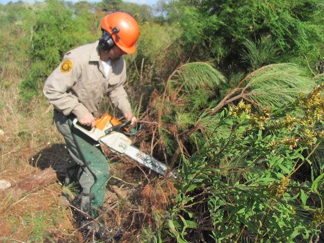 A recently complete pine thinning project was part of a larger habitat restoration plan in the park.