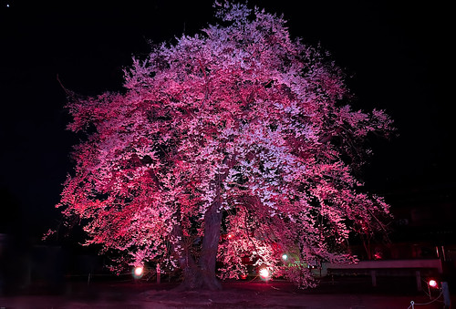 夜桜 by ja1dql