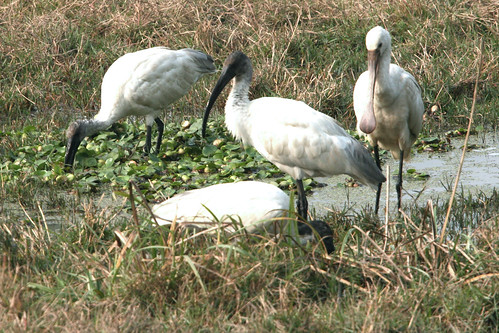 Black-headed Ibis and Eurasian Spoonbill by Majeda Haq