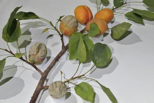 Rotten apricots