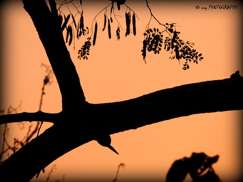shadow tree nature bough nikoncoolpixp520 tripuraindia