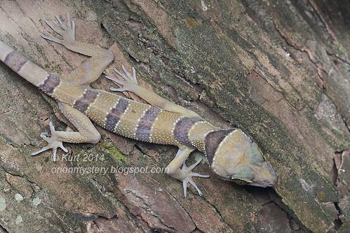 Cyrtodactylus pulchellus IMG_8340 copy