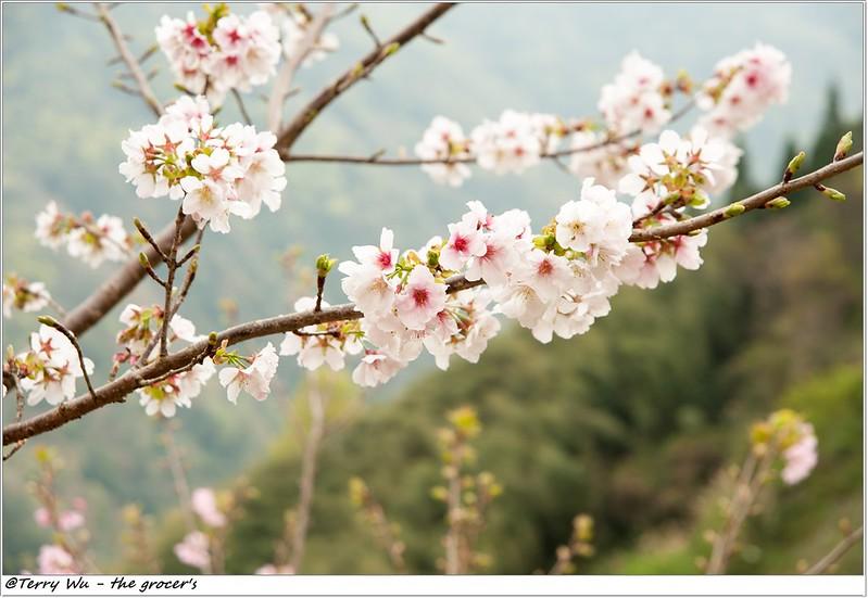 2014-3-01 拉拉山櫻花-14