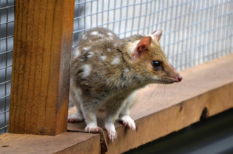 Quoll - Devils @ Cradle - Cradle Mountain - Tasmania