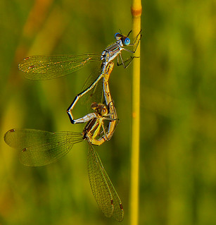Dragonflies Form A Heart