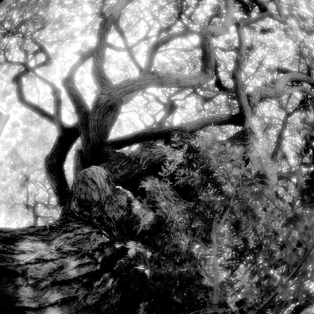 Tree Black and White iDarkroom Demo