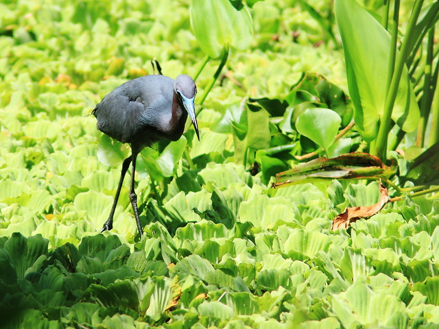 Little Blue Heron on Water Lettuce 20140421