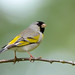 Lawrence's Goldfinch (male) by Jerry Ting