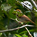 Small photo of Ferruginous Babbler