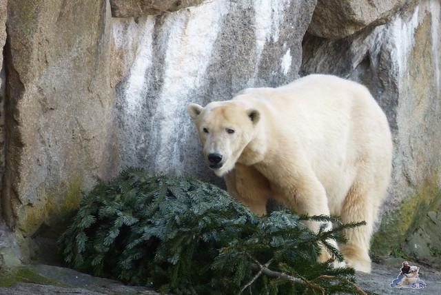 Zoo Berlin Orang Utan Rieke 08.02.2015 154