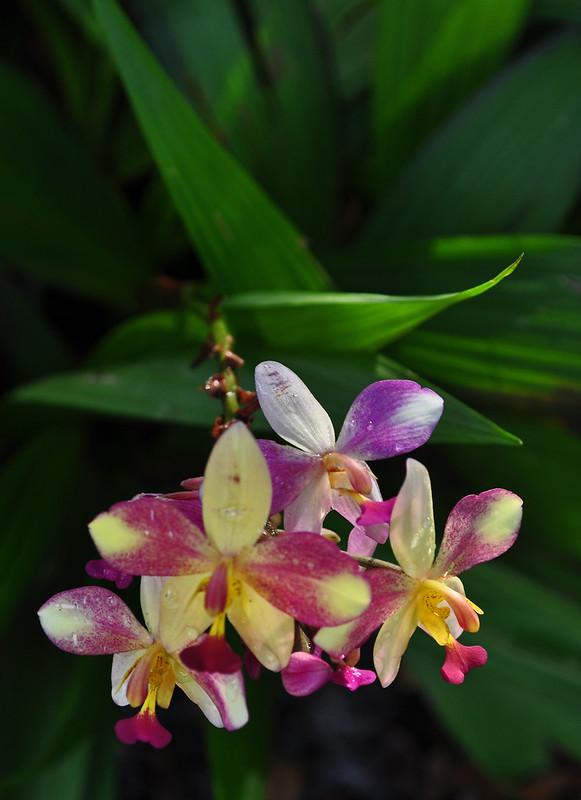 Spathoglottis hybrid (Ground Orchid)