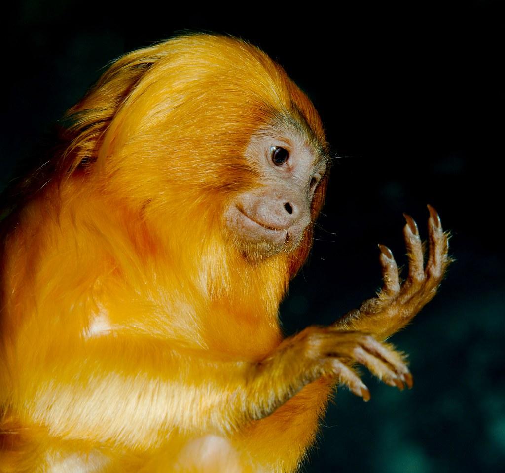 Golden Lion Tamarin (Leontopithecus rosalia)_1