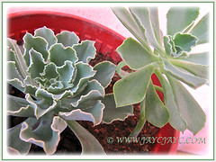Propagating Echeveria 'Blue Curls' from offsets cuttings