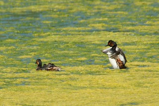 Black-necked grebes - with chicks