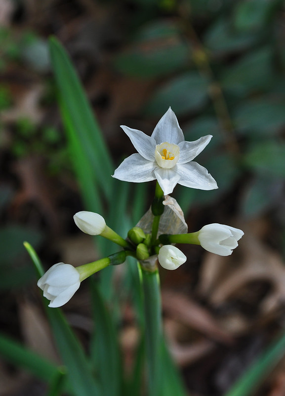 Narcissus 'Ziva'