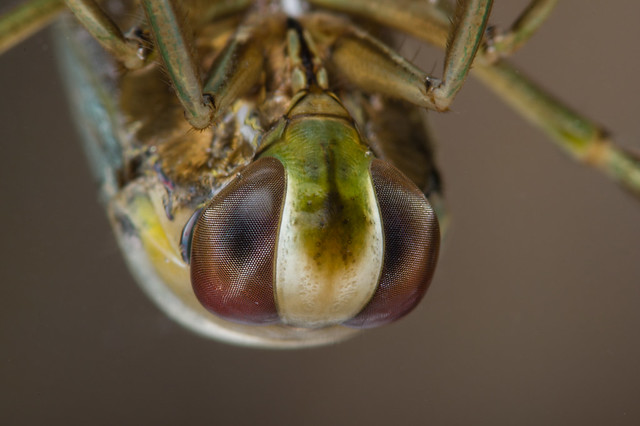 Common backswimmer-2