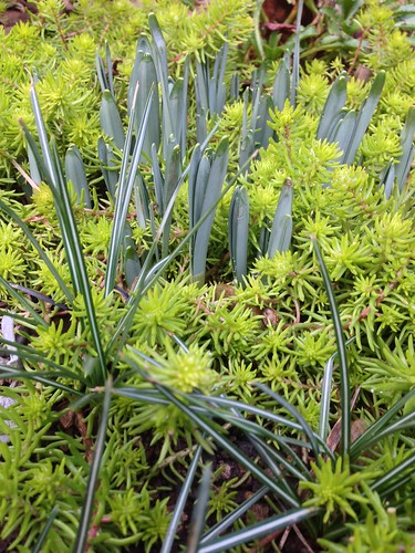 Sedum 'angelina' with daffodils & crocus (pre flower)