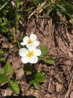 Blume von Erdbeeren