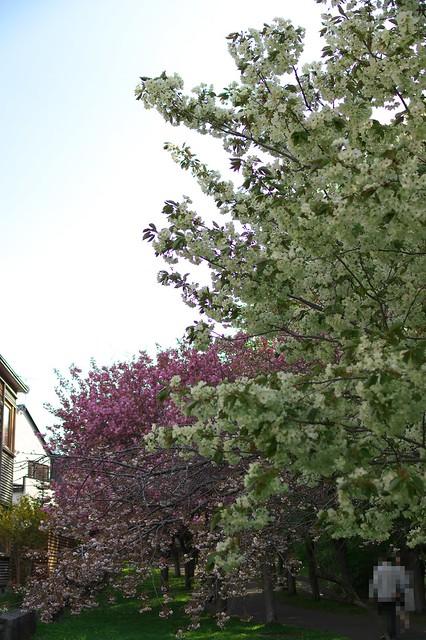 20160514西野緑道の桜_03