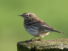 Meadow Pipit No. 12 - Wiesenpieper Nr. 12 (Joe)