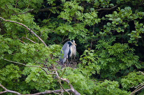 Nesting herons, both parents about at once