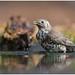 Mistle Thrush - Grote lijster (Turdus viscivorus) .... by Martha de Jong-Lantink