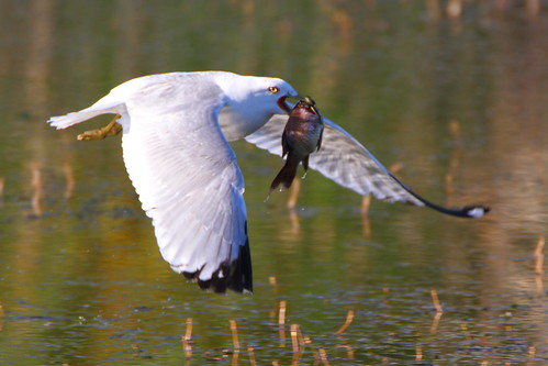 ringbilled gull ringbilledgull giantfish richmondgreen bird flight birdinflight