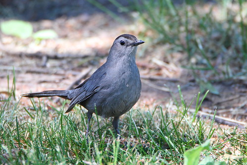 gray catbird mckenziemarsh