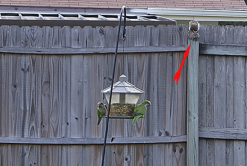 Wild Parrots gorging on bird seed while our friendly Squirrel Watches (arrow)