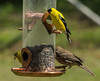 The Goldfinches are back !! by screaminscott