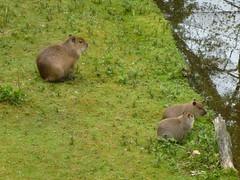 squirrel(0.0), animal(1.0), rodent(1.0), fauna(1.0), capybara(1.0), wildlife(1.0),