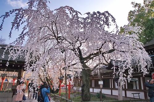 【写真】桜 : 平野神社