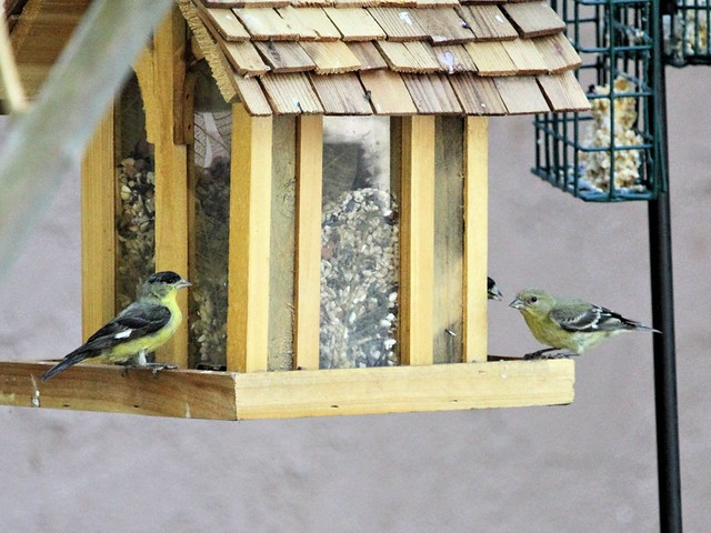 Lesser Goldfinches at Sedona feeder 20130616