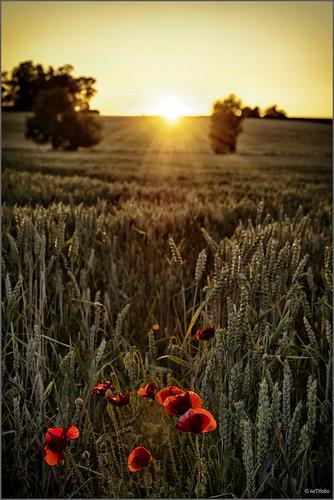 sunset cornfield nikon sweden poppy d800 vallmo nikond800