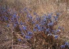 Blue devil (Eryngium ovinum)