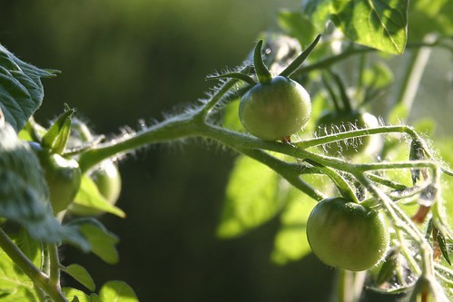 Tomato in the making II