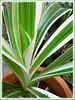 Crinum asiaticum 'Variegatum' (Variegated Crinum, Variegated Grand Crinum Lily, Variegated Giant Spider Lily, Striped Bengal Lily, Asiatic Poison Bulb)