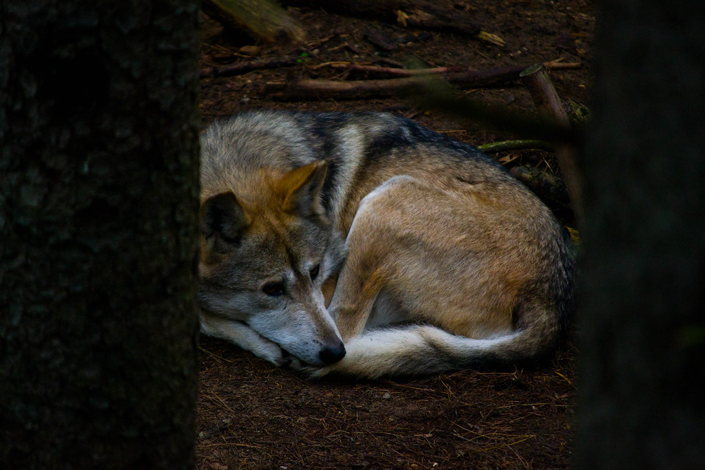 mexican wolf8
