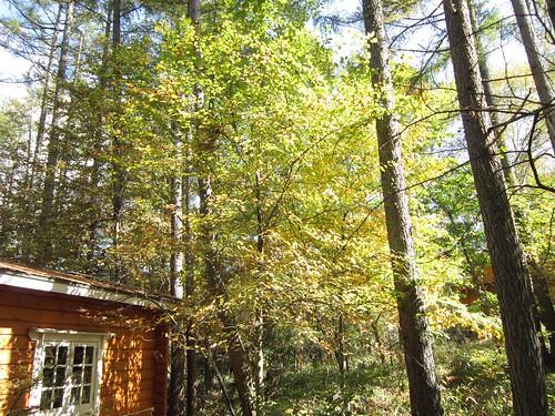 庭の色付いた木 2013年10月12日10:26 by Poran111