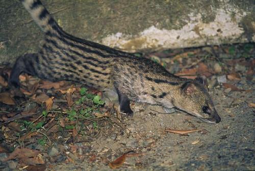 幼年的麝香貓,毛色與成體一樣,但體型較小。(圖片來源:農委會林試所)