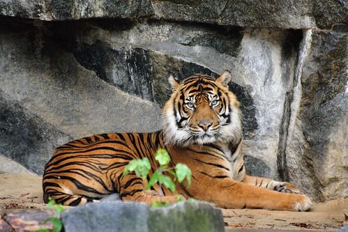 Maschio di Tigre di Sumatra (Panthera tigris sumatrae) - Tierpark Berlin