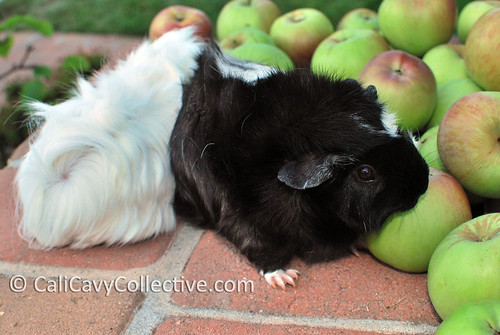 Guinea pig Revy takes a bite of apple